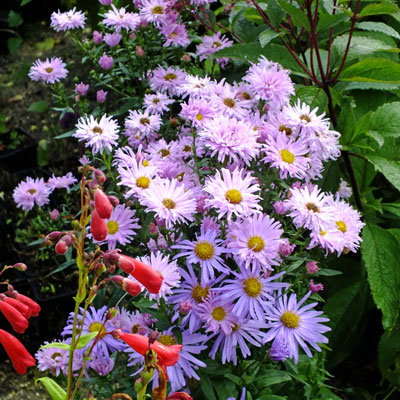 Aster novi-belgii 'Fellowship' (Symphyotrichum novi-belgii 'Fellowship') with Aster x frikartii 'Monch'