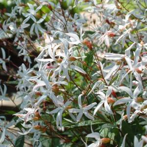 Gillenia trifoliata – Indian Physic