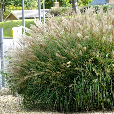 Miscanthus Sinensis Adagio on privacy and security