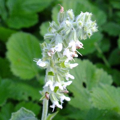 Salvia verticillata 'Alba' (White Rain)