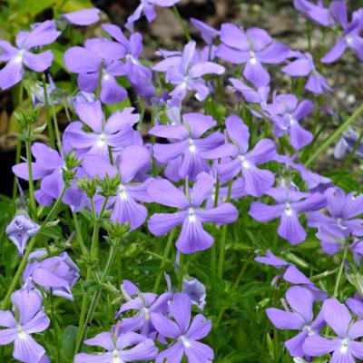 Viola cornuta horned violet dorset perennials for Viola cornuta inverno
