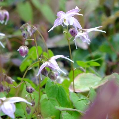 Epimedium 'Akebono'