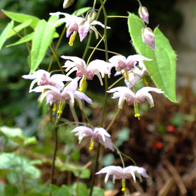 Epimedium 'Enchantress'