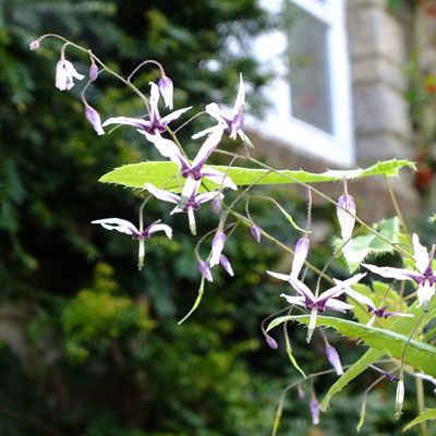 Epimedium fargesii 'Pink Constellation'