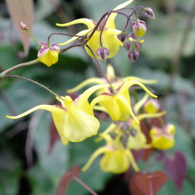 Epimedium davidii (ex. Spinners)
