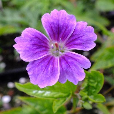 Geranium nodosum 'Whiteleaf'