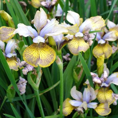 Iris 'Here Be Dragons' (sibirica)