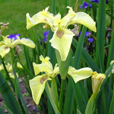 Iris pseudacorus 'Krill'