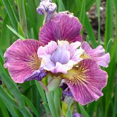 iris painted woman sibirica dorset perennials