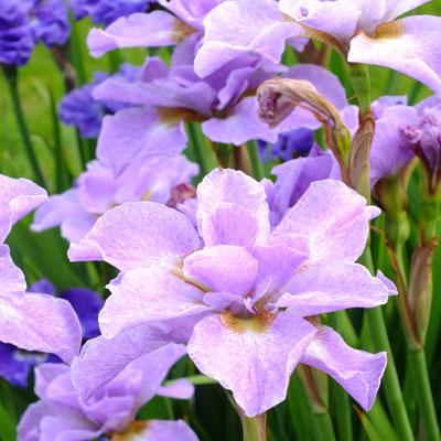Iris 'Ranman' (sibirica)