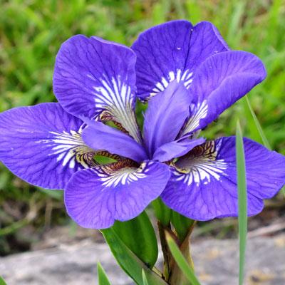 iris roku oji sibirica dorset perennials