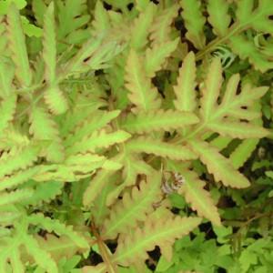 Onoclea sensibilis - sensitive fern