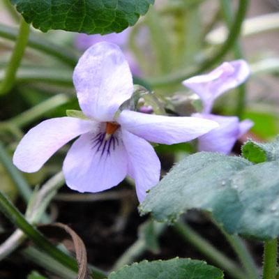 Viola 'Lavender Lights'