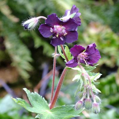 Geranium phaeum – dark form