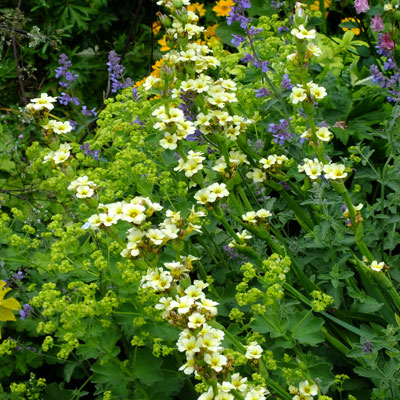 Sisyrinchium striatum with Alchemilla