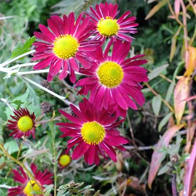 Chrysanthemum 'Cousin Joan' – Korean : single AGM