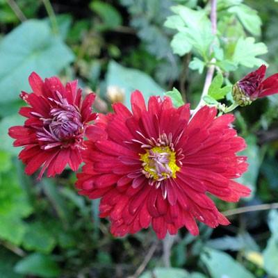Chrysanthemum 'Duchess of Edinburgh' – Korean : single