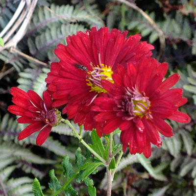 Chrysanthemum 'Duchess of Edinburgh' – Korean : single