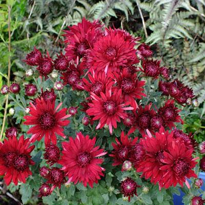 Chrysanthemum 'Ruby Mound' – Korean : reflexed
