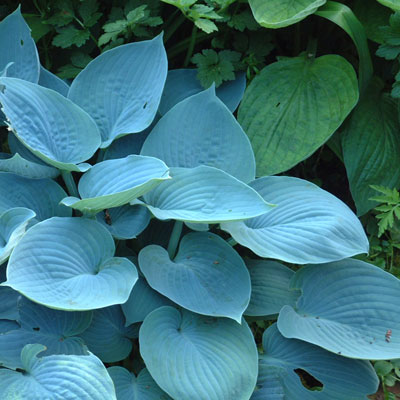 Hosta 'Hadspen Blue' (Tardiana Group)