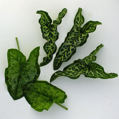 Arum leaves - Pictum and Chameleon