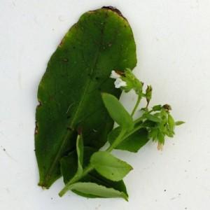 Pulmonaria rubra var. albocorollata