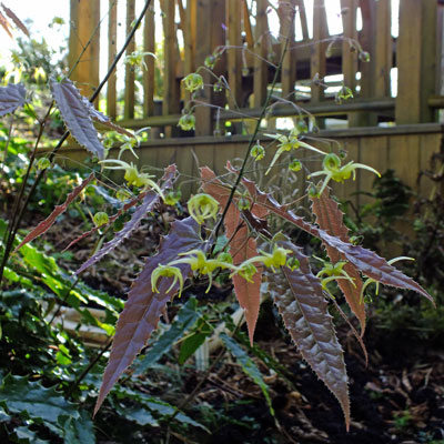 Epimedium species nova 'Spine Tingler' Cc 001764