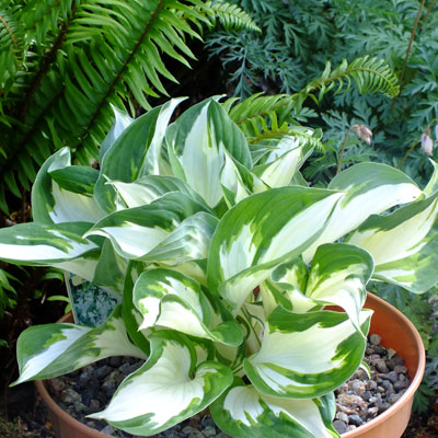 hosta 39 fire and ice 39 dorset perennials. Black Bedroom Furniture Sets. Home Design Ideas