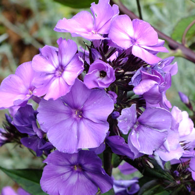 phlox paniculata 39 blue paradise 39 dorset perennials. Black Bedroom Furniture Sets. Home Design Ideas