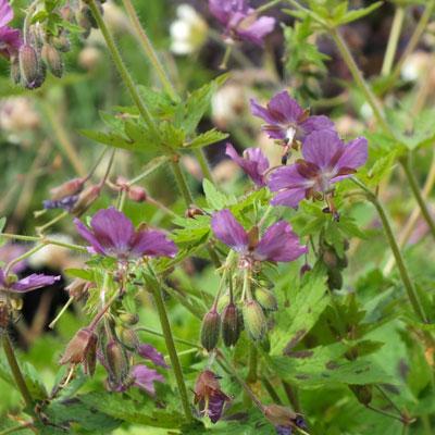 Geranium x monacense 'Claudine Dupont'