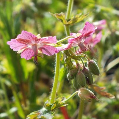 Geranium phaeum 'Rose Madder'