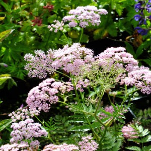 Pimpinella major 'Rosea'