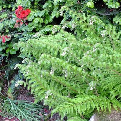 Polystichum braunii - Prickly Shield Farm