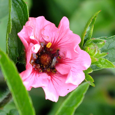 Potentilla nepalensis 'Helen Jane'