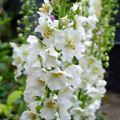 Verbascum phoeniceum 'Flush of White' (White Bride)