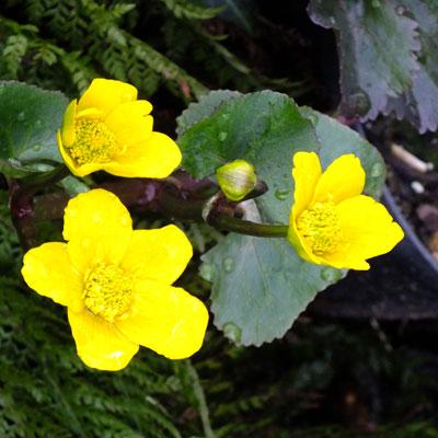 Caltha palustris 'Bronze Age' - Marsh Marigold, Kingcups