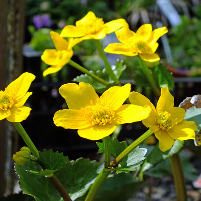 Caltha palustris 'Bronze Age' - Marsh Marigold, Kingcups