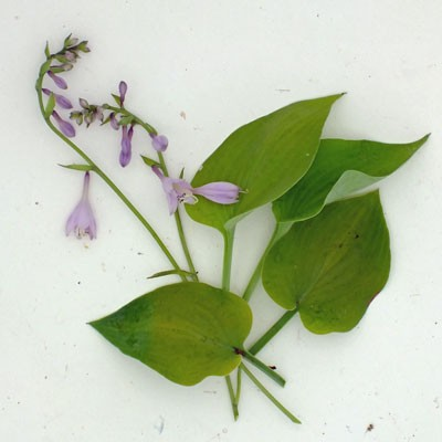 Hosta Gold Edger Dorset Perennials