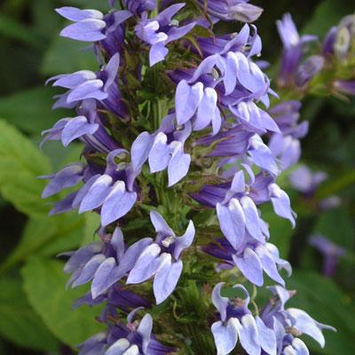 Lobelia siphilitica - Blue cardinal flower