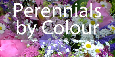 Button for A Perennials By Colour