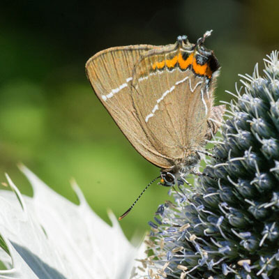 White Hairstreak on Miss Willmott's Ghost