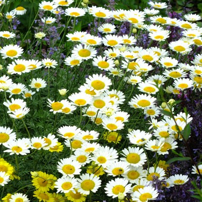 Anthemis tinctoria 'Sauce Hollandaise'