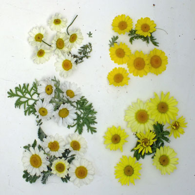 Anthemis tinctoria mixed