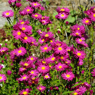Aster novi-belgii 'Crimson Brocade' (Symphyotrichum novi-belgii 'Crimson Brocade')