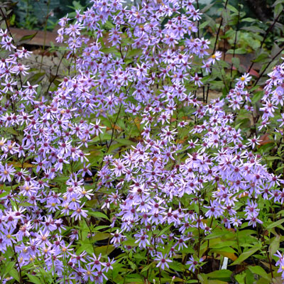 Aster 'Little Carlow' (Symphyotrichum 'Little Carlow')