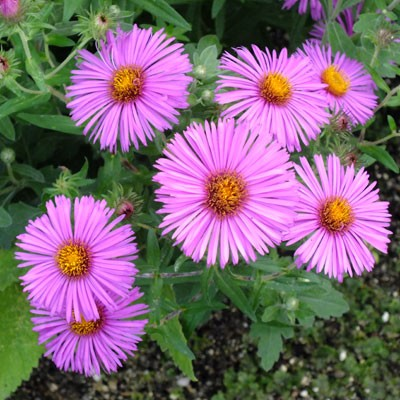 Aster novae-angliae 'Lye End Beauty' (Symphyotrichum novae-angliae 'Lye End Beauty')