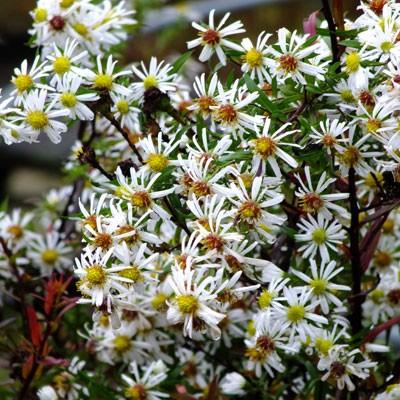 Aster laevis 'White Climax' (Symphyotrichum)