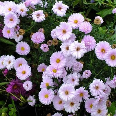 Aster novi-belgii 'Anita Webb' (Symphyotrichum novi-belgii 'Anita Webb')