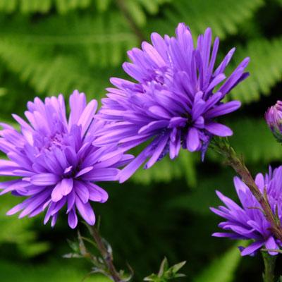 Aster novi-belgii 'Harrison's Blue' (Symphyotrichum novi-belgii 'Harrison's Blue')
