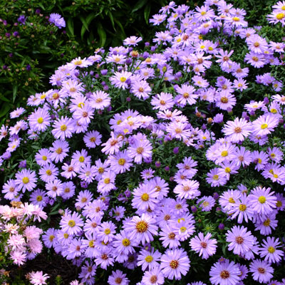Aster novi-belgii 'Little Boy Blue' (Symphyotrichum novi-belgii 'Little Boy Blue')